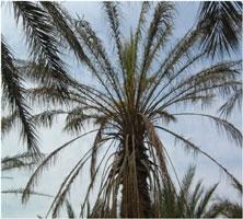 Le contr le phytosanitaire du palmier dattier for Maladie palmier interieur